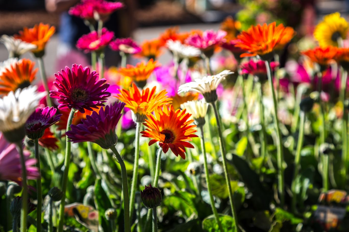 Gerberas for sale at the 2019 Queensland Garden Expo